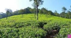 Cheap Coffee Estate for sale near Kodaikanal