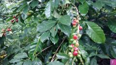100 Acres of Coffee Estate