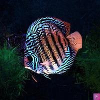 Discus fish for Aquarium in good condition