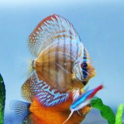 Blue Rim Wild Discus Fish