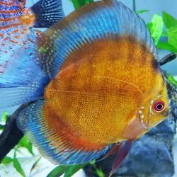 Brown Curipera Discus Fish