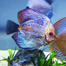 Pigeon Checkerboard Discus Fish (Old Mother)