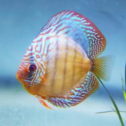 Checkerboard Rim Wild Discus Fish